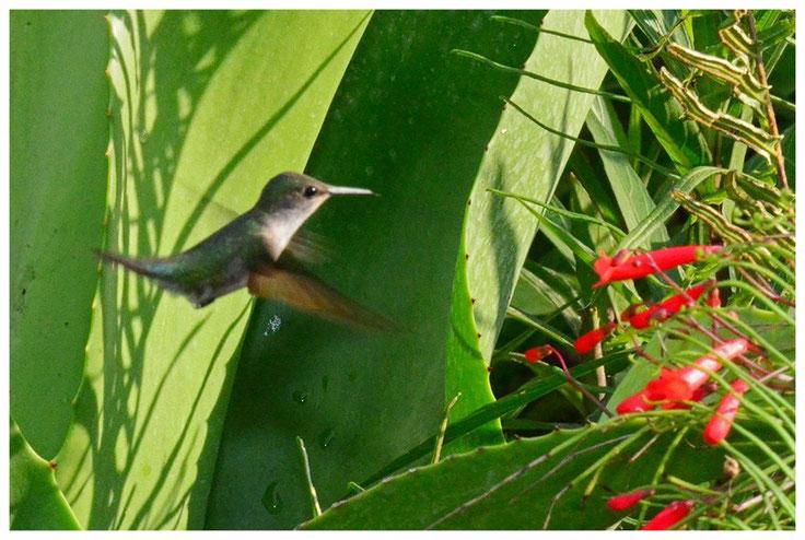 See it in Banrney's FLower&Hummingbird Garden Jamaica