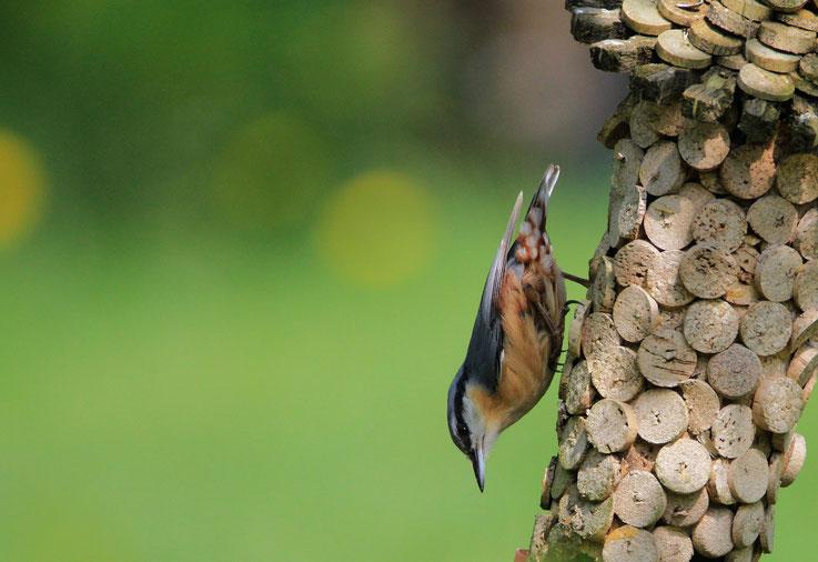 Kleiber läuft kopfunter den Baum hinab