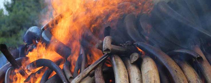 Elfenbeinverbrennung