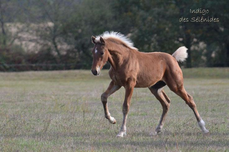 poulain rocky croisé bai silver alezan crin lavé à réserver à vendre foal to book to sale sport loisir reproduction magnifique