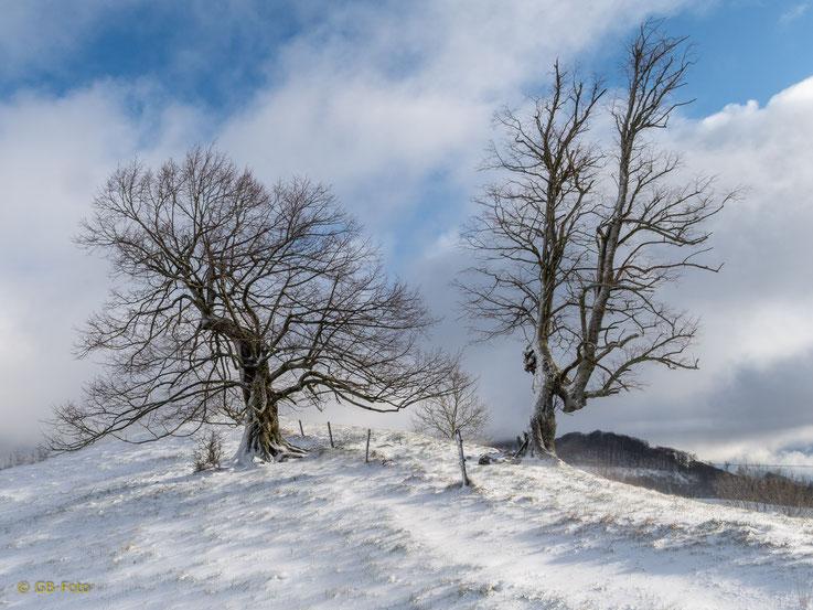 Knorrige Bäume im Oberbaselbiet