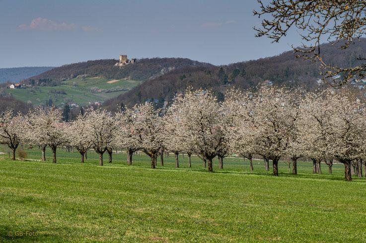 Blühende Kirschbäume oberhalb von Hofstetten und das am 31. März 2019