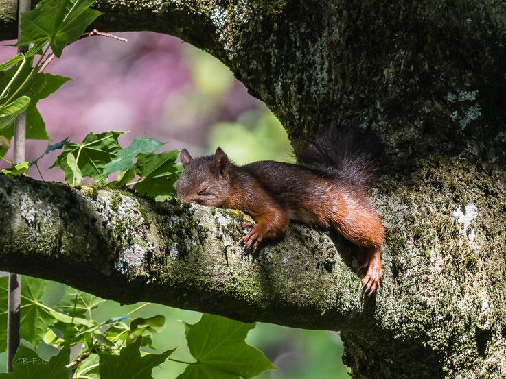 Eichhörnchen beim Mittagsschlaf