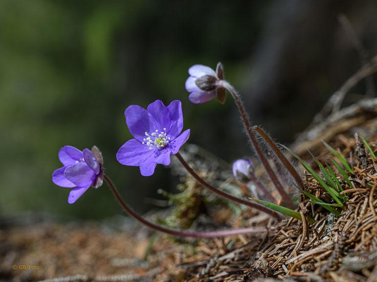 Leberblümchen am Wegrand