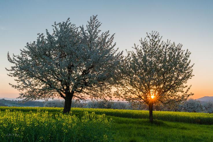 Blühende Kirschbäume im Leimental