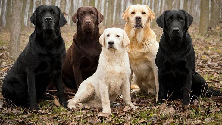 Labrador Retriever Retriever Club Luxembourg