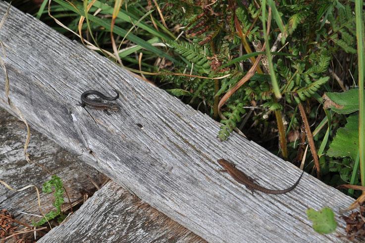 Salamander Moor