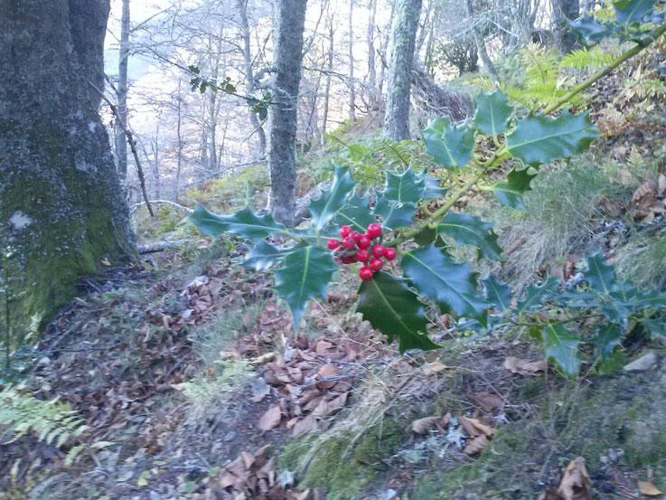 Acebo, especie protegida en el Principado de Asturias, un día de trabajo en el monte.