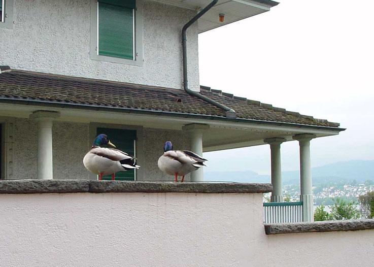 Enten auf der Garagenmauer zu Nachbarhaus