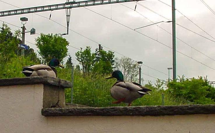 Entenpaar auf der Garagenmauer
