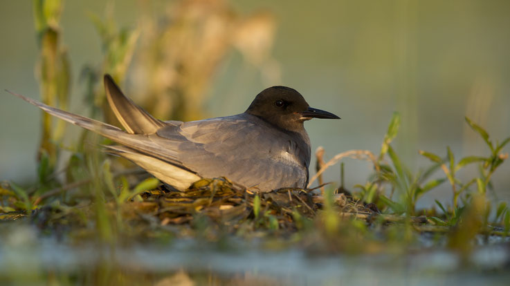 Weibchen auf naturlichem Nest, 19.05.2017