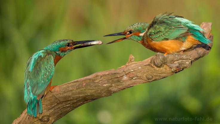 Männchen (links) füttert adultes Weibchen