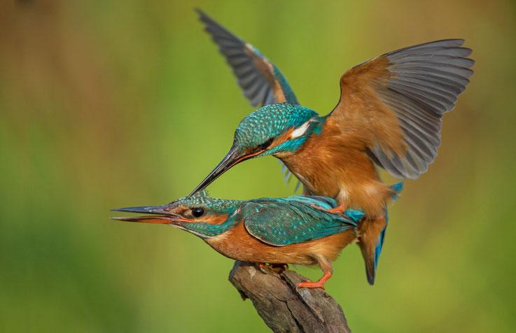 Paarung der Eisvögel