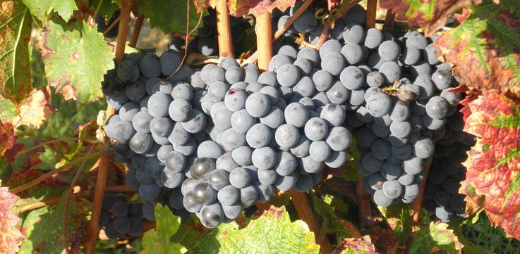Une personne tient dans ses mains une grappe de raisin rouge, on peut voir que ses mains ont servi pour la récolte de ces raisins