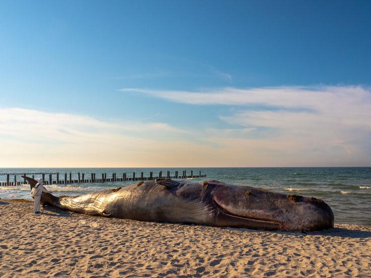 Im erstem Moment ein Schreck - ein gestrandeter Wal am Strand. Doch dann entpuppt es sich als Aktion um auf die Verschmutzung der Ozeane  aufmerksam zu machen.