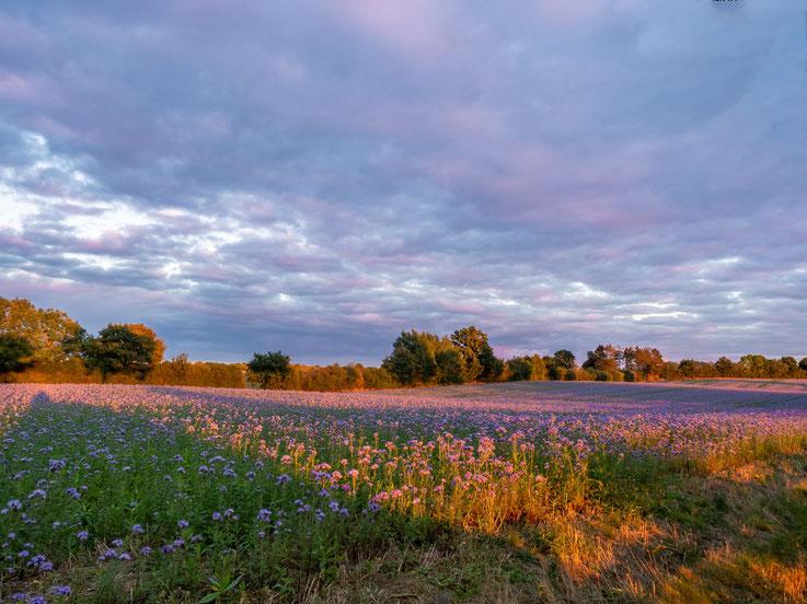 Auf dem Weg nach Timmendorfer Strand wurden wir von  Feldern voller Büschelschön und einem traumhafen Sonnenuntergang überrascht.