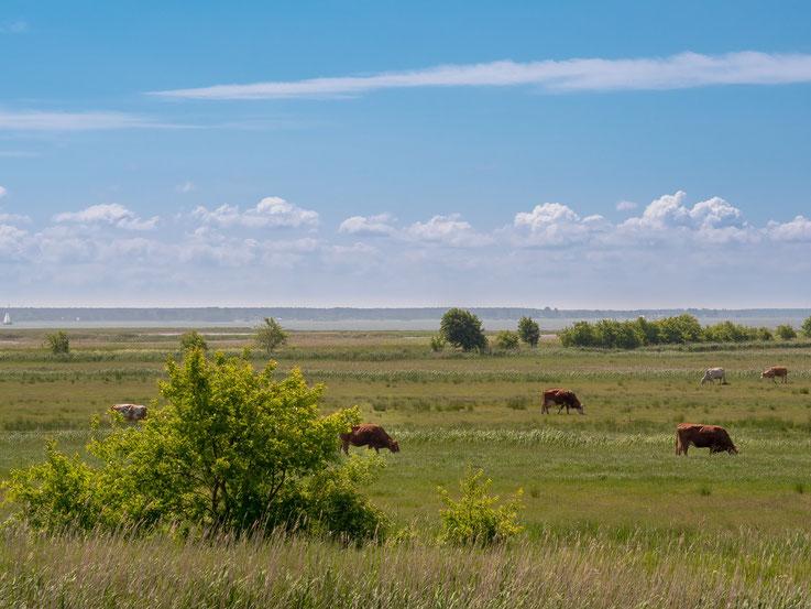 Obwohl weite Teile der Boddengebiete Teile des Nationalpark sind, darf auf einigen Flächen begrenzt ökologische Landwirtschaft betrieben werden.