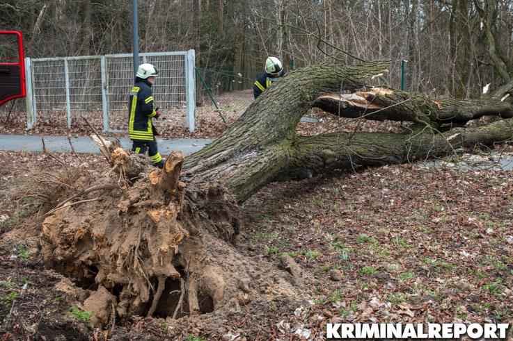 In Waldesruh stürzte ein massiver Baum um.|Foto: Christopher Sebastian Harms