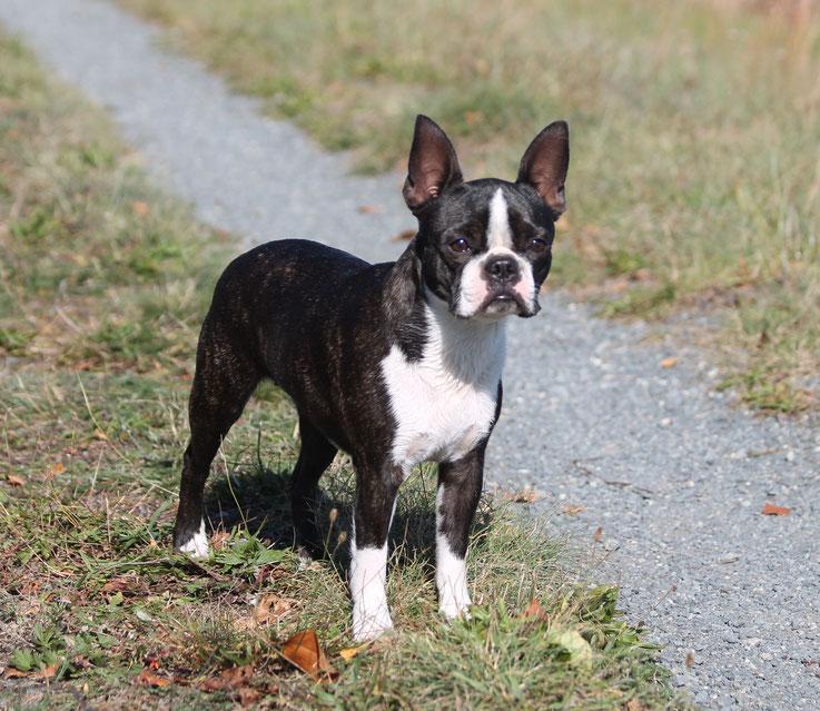 boston terrier, klub für terrier, welpen, zucht, züchter, niedersachsen, hamburg
