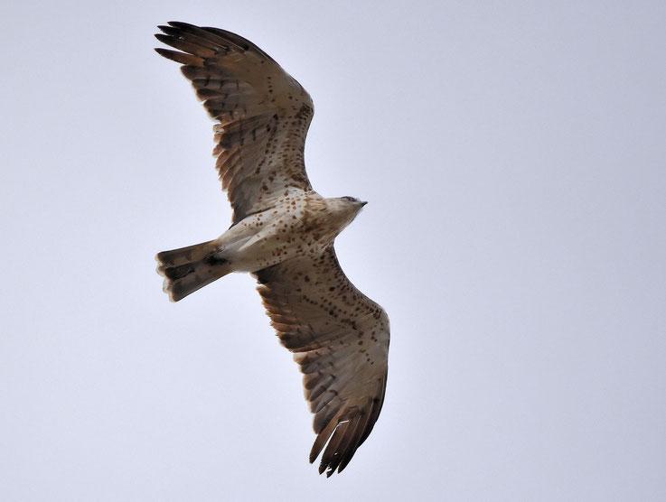 Short Toed Eagle
