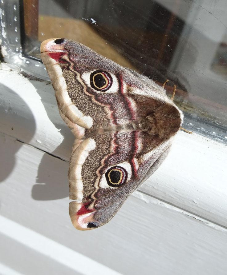 Emporer Moth