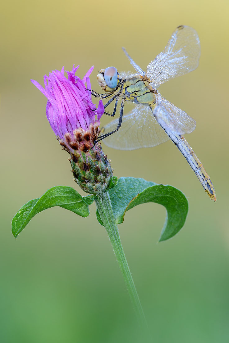 Sympetrum fonscolombii ♀