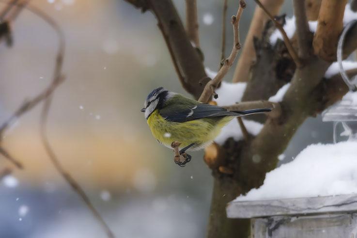 Cinciarella sotto la neve