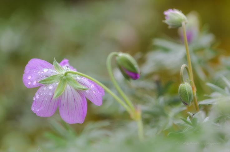 Geranium argenteum L., 1756)