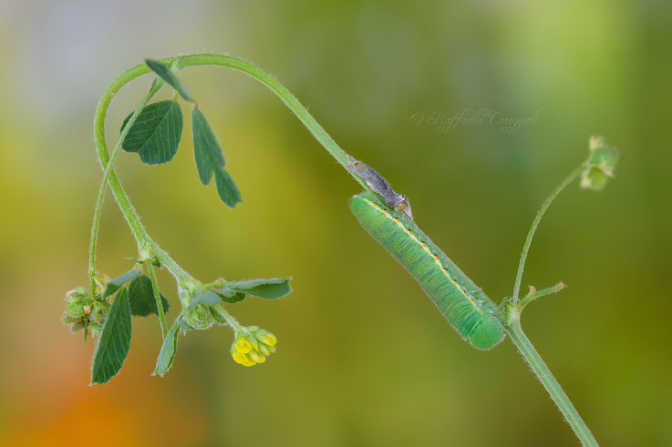 Bruco di Colias crocea con muta