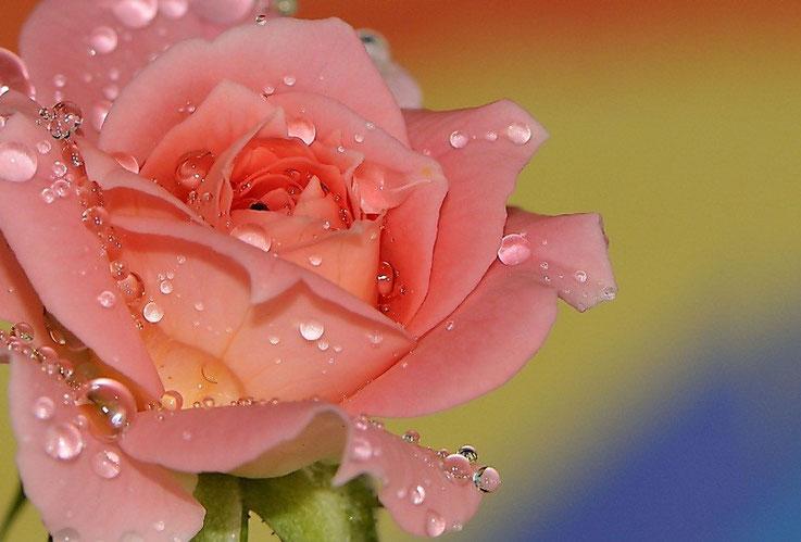 Semplicemente rosa