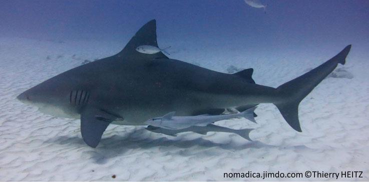 Requin, massif, trapu, dos gris, ventre blanc, museau court, arrondi