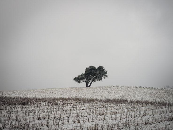 Olivenbaum (aufgenommen in Slowenien/2019)