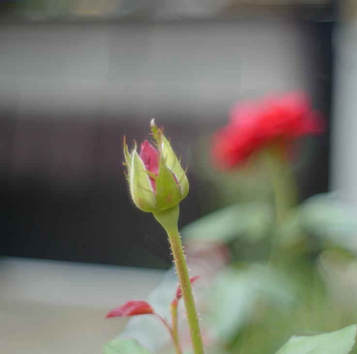 #leicacl #summilux #summilux35 #preaspherical #titanium #flower #garden #ライカ #カメラ好きな人と繋がりたい #写真撮ってる人と繋がりたい #ファインダー越しの私の世界 #カメラ好きな人と繋がりたい #マイガーデン #ガーデニング #私の庭 #花が好き #花のある暮らし #はなまっぷ #花好きな人と繋がりたい#国内旅行 #写真散歩 #週末旅行#御蔵稲荷#ライカ銀座six #東京アメリカンクラブ #tokyoamericanclub