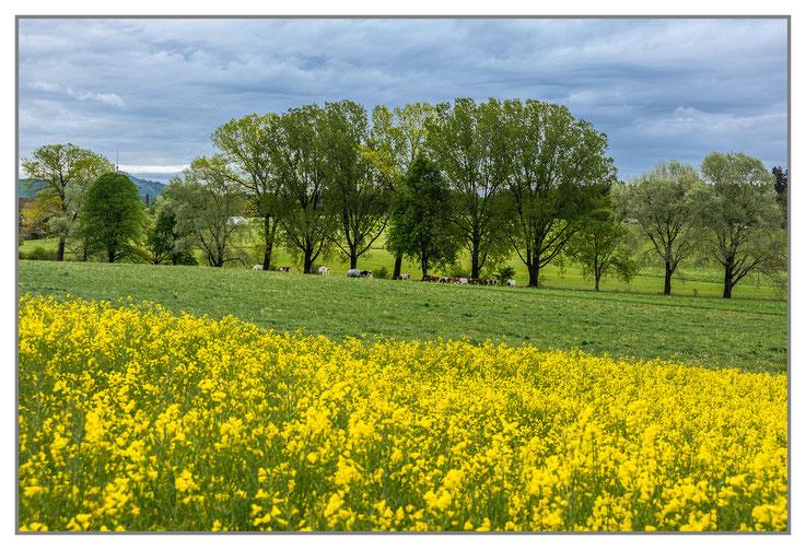 Rapsfelder Frühling gelb grün Bäume Landwirtschaft