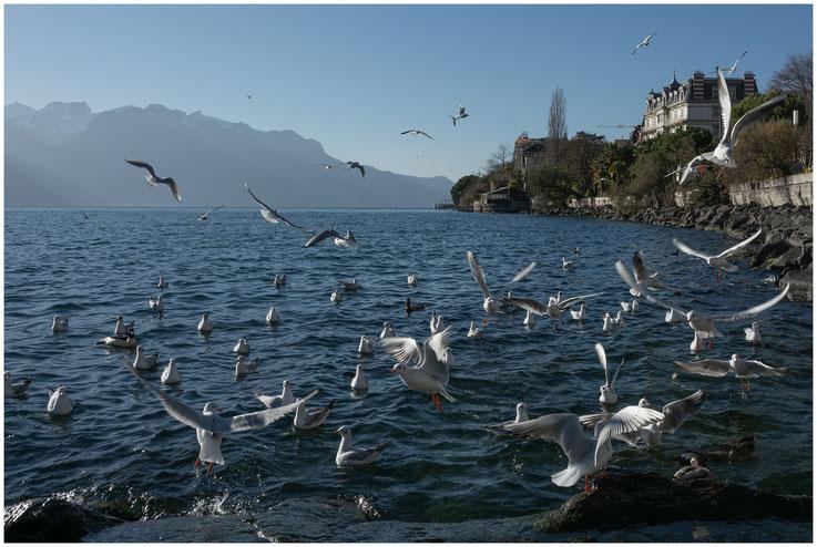 Möven Lac-de-Genève Genfersee
