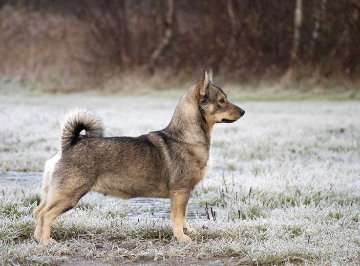 Sharinjah Simasuu västgötaspets swedish vallhund zweedse herder