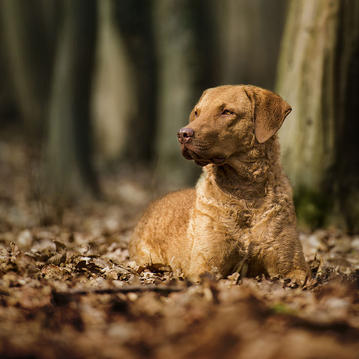 Purl Oakleaf Manor Chesapeake Bay Retriever Welpen Chessie