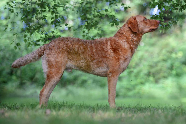 Sedge Chesapeake Bay Retriever