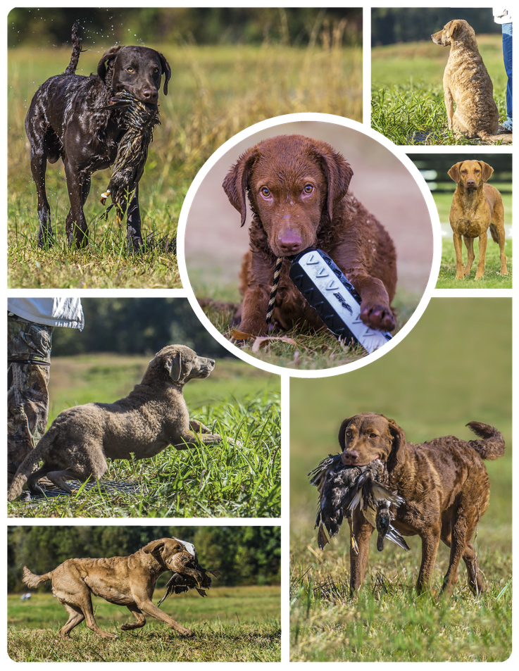 Chesapeake Bay Retriever Oakleaf Manor Dyane Baldwin Thora Eichblatt