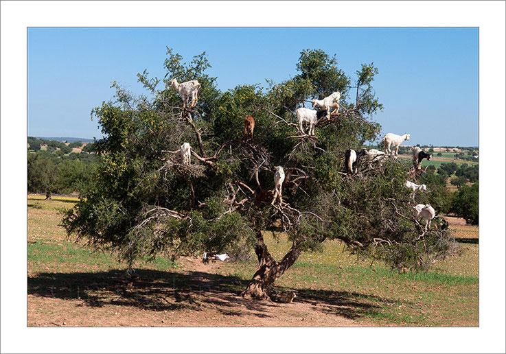 Marruecos, Essaouira, argán, árbol del argán, cabras, pastoreo, turismo, fotografía de viajes.