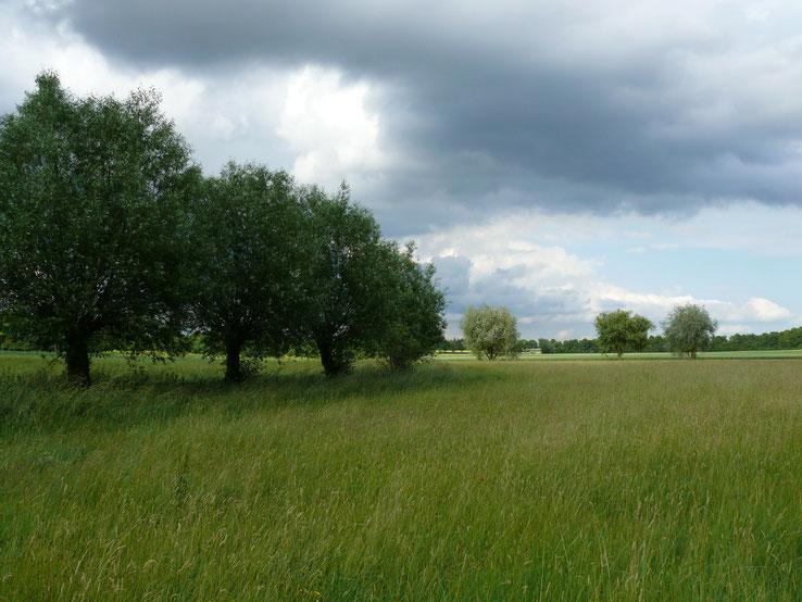 Weiden am Schafbach (hinten, rechts) und Grenzgraben (vorne, links), Juni 2014