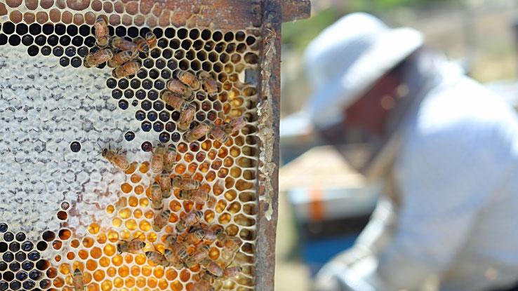 Ruche, cadre et apiculteur à Central Otago en Nouvelle-Zélande NZNG