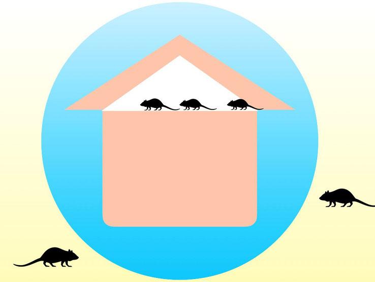 家の中に侵入して、天井裏に住み着いているネズミ