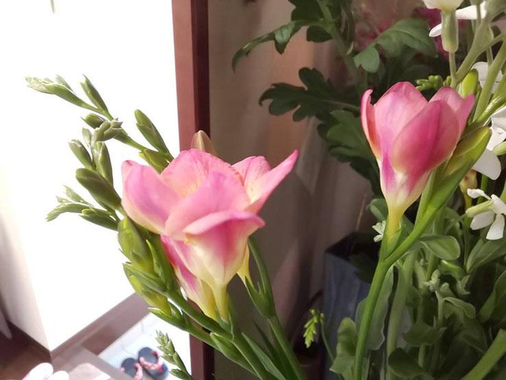 2月のお花:フリージア