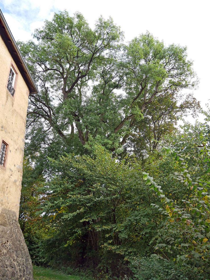 Esche am Schloss Birstein in Birstein