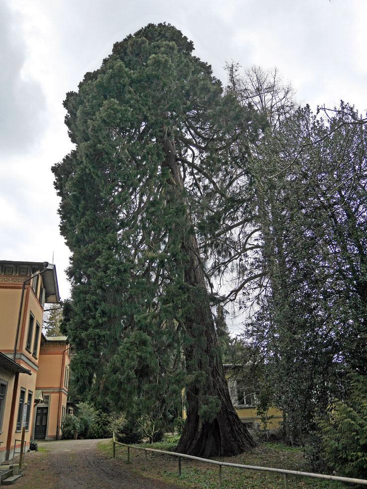 Riesenmammutbaum im Lindenhofpark in Schachen