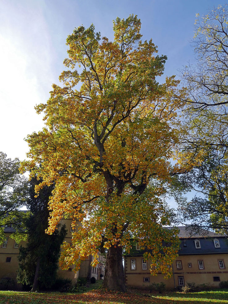 Tulpenbaum beim Schloss Birstein in Birstein