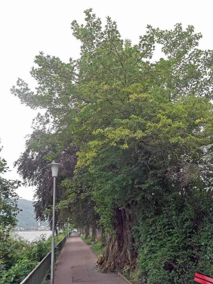Schwarzpappel in Boppard
