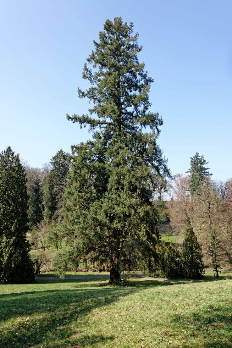 Douglasie im Schlosspark Rauischholzhausen in Rauischholzhausen