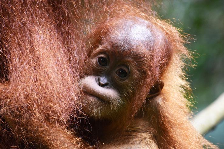 orang-utan-baby-sumatra